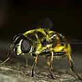 Hoverfly by FL collection
