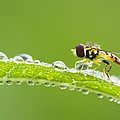 Hoverfly In Dew by Mircea Costina Photography