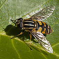 Hoverfly by Richard Thomas