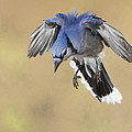 Hovering Billy by Gerry Sibell