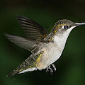 Hovering Hummer by Bonnie Brann