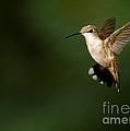 Hovering Hummingbird  by Sabrina L Ryan