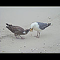 How To Eat A Blue Crab - Great Black Backed Gull In Training by Mother Nature