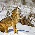Howl by Jack Milchanowski