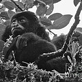 Howler Monkey's by Tracey Levine