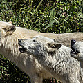 Howlin Artic Wolves by Michael J Samuels
