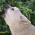 Howlling Arctic Wolf Pup Endangered Species Wildlife Rescue by Dave Welling