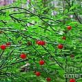 Huckleberry Bush by Lena Photo Art
