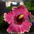 Huge Mexican Desire Hibiscus With Hummingbird by John  Kolenberg