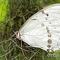 Huge White Morpho Butterfly by Sabrina L Ryan