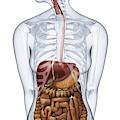Human Digestive Anatomy by Dorling Kindersley/uig