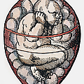 Human Fetus, 16th Century by Granger