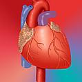 Human Heart by Monica Schroeder / Science Source