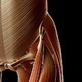 Human Hip Muscles by Sebastian Kaulitzki