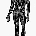 Human Nervous System by Granger