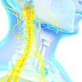 Human Spinal Cord by Sebastian Kaulitzki
