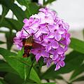 Humingbird Moth by Nancie Johnson