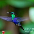 Humminbird In Flight   by Fabian Romero Davila
