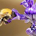 Humming Bee  by Stwayne Keubrick