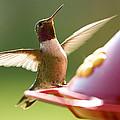 Humming Bird 2 by David Halter