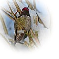 Humming Bird And Snow 4 by Nick Kloepping