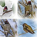 Humming Bird And Snow 4 Pack by Nick Kloepping