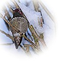 Humming Bird And Snow 5 by Nick Kloepping