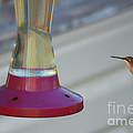 Humming Bird Approaching by Thomas Woolworth
