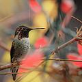 Humming Bird Christmas by Steve McKinzie
