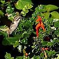 Humming Bird Honeysuckle by Steve  Ondrus