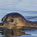 Humming Harbor Seal by Julie Chen