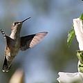 Hummingbird 2 by Danielle Gareau