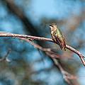 Hummingbird 4 by Kim  Rollins    Pride Imaging Fine Arts