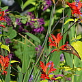 Hummingbird And Crocosmia Lucifer by Michelle Calkins