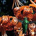 Hummingbird And Tiger Lily by Byron Varvarigos
