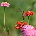 Hummingbird And Zinnias by P S