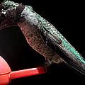 Hummingbird Anna's Eating On Perch by Jay Milo