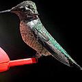 Hummingbird Anna's Posing For The Camera by Jay Milo