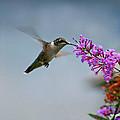 Hummingbird At Butterfly Bush by Karen Adams