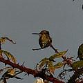 Hummingbird Atop Blackberry Bushes by Karen Molenaar Terrell