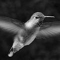 Hummingbird by Ben and Raisa Gertsberg