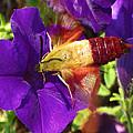 Hummingbird Clearwing Moth by Dan Pyle