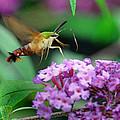 Hummingbird Clearwing Moth by Gary Keesler