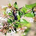Hummingbird Clearwing Moth by Maria Urso