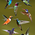 Hummingbird Collage by David Salter