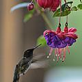 Hummingbird by David Armstrong