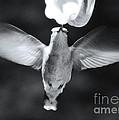 Hummingbird by David Rucker