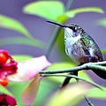 Hummingbird by Deena Stoddard