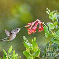 Hummingbird Dives In  by Kerri Farley