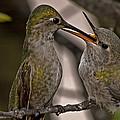 Hummingbird Feeding Baby by Lee Kirchhevel